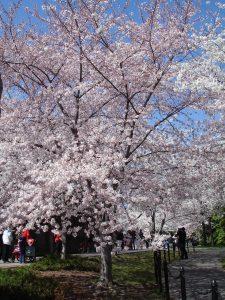 3.26.11 DC Cherry Blossoms3