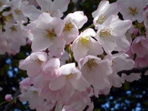 3.26.11 DC Cherry Blossoms5