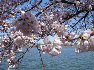 3.26.11 DC Cherry Blossoms6
