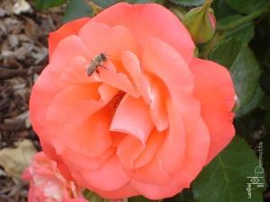 San Diego CA 4.28.09 pink rose w bee mcm