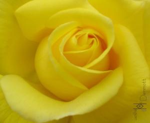 San Diego CA 4.28.09 yellow rose mcm black