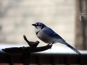 Blue Jay feeder mcm