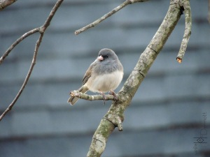 Dark-eyed Junco in tree1 mcm