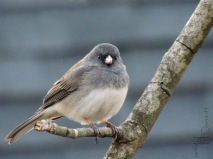 Dark-eyed Junco in tree2 mcm