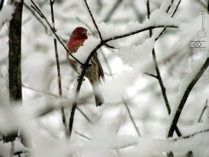 House Finch in show mcm