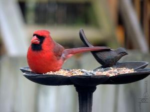 male cardinal mcm