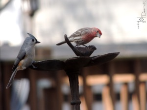 Tufted Titmouse & House Finch mcm