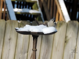 Tufted Titmouse mcm