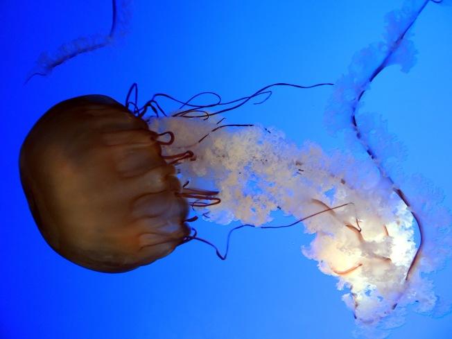 Sea Nettle 4