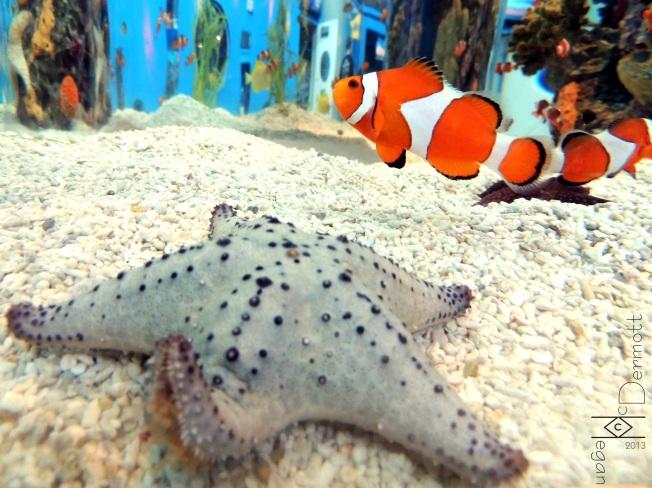 Starfish with Clownfishmcm