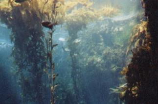 kelpbed
